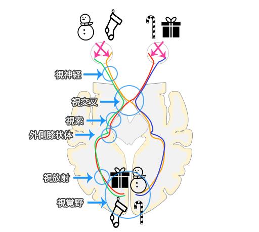 両耳側半盲を理解するための視神経の経路