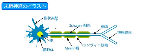 末梢神経のイラスト(Schwann細胞)