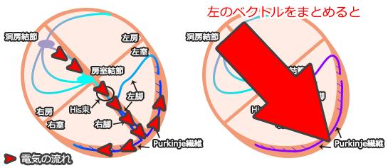 心電図の基本・心臓の電気ベクトル方向
