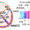 刺激伝導系の解剖、心電図(まとめ)